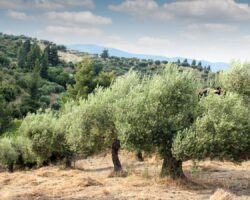 The Versatile, Longevity Giving Olive Tree